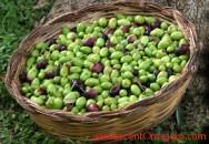 campioni omaggio olio extravergine di oliva