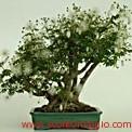 catalogo gratis bonsai