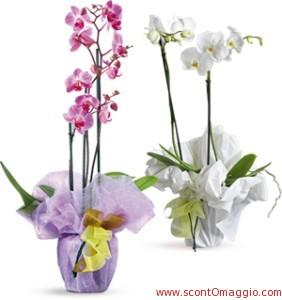 orchidea phalaenopsis a due rami