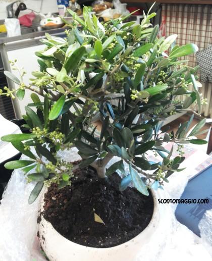 Bonsai di ulivo ricevuto in omaggio da palmolive for Bonsai di ulivo