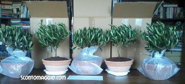 Nuovi ulivi bonsai in arrivo da palmolive scontomaggio for Acquisto piante ulivo